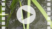 FZ029756-30148-63 Coot diving and feeding chicks (Fulica atra).mp4