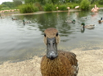 FZ029822 Duck close up.jpg