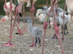 FZ029861 Greater flamingo chick (Phoenicopterus roseus).jpg