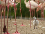FZ030001 Greater flamingo chick (Phoenicopterus roseus).jpg