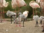 FZ030017 Greater flamingo chick (Phoenicopterus roseus).jpg