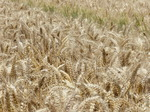 FZ030664 Wheat field.jpg
