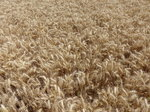 FZ030672 Wheat field.jpg