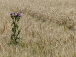 FZ030675 Thistle in wheat field.jpg