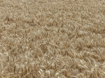 FZ030693 Wheat field.jpg