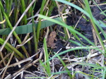 FZ032339 Tiny frog in grass.jpg
