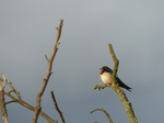 FZ032834 Swift in tree.jpg